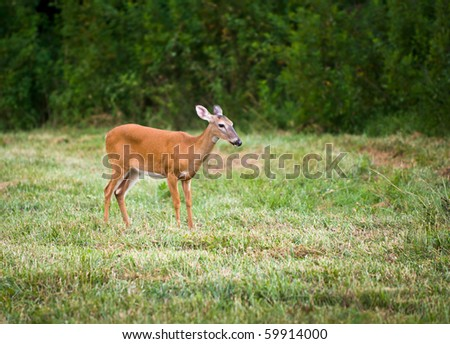Outdoor Mammal Wildlife White Tail Doe Deer in field of green grass