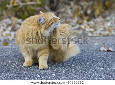 Outdoor orange cat scratching fleas in yard