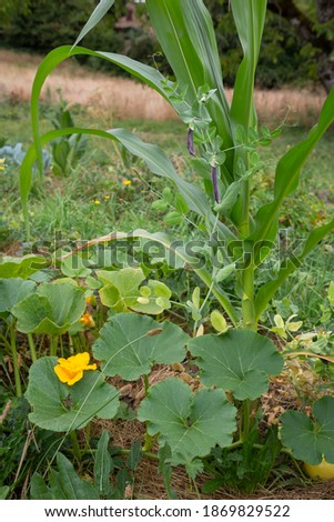 Outdoor permaculture garden with companion planting of Corn, Green beans and Pumpkin plants. Stockfoto ©