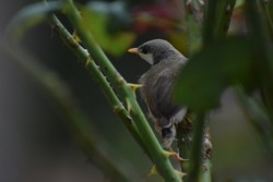 outdoor pictures of oldworld flycatcher