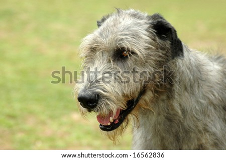 Outdoor portrait of a beautiful adult grey Irish Wolfhound dog staring
