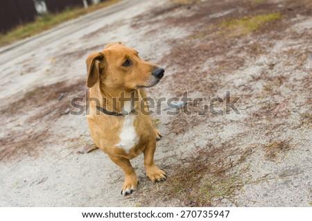 Outdoor portrait of cute cross-breed short-legged dog