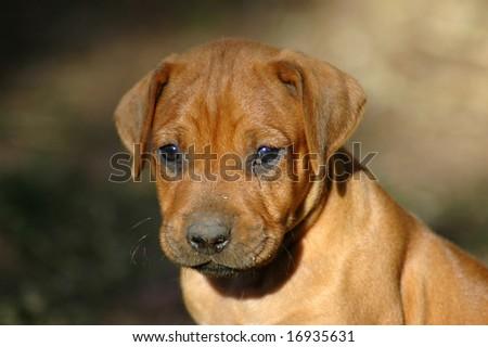 Hound Dog Puppies. Ridgeback hound dog puppy