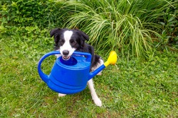Outdoor portrait of cute smiling dog border collie holding watering can on garden background. Funny puppy as gardener fetching watering can for irrigation. Gardening and agriculture concept