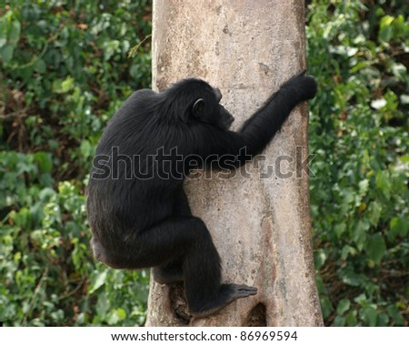 Outdoor shot in Uganda (Africa) showing a chimpanzee while climbing up the stem of a tree in front of green vegetation