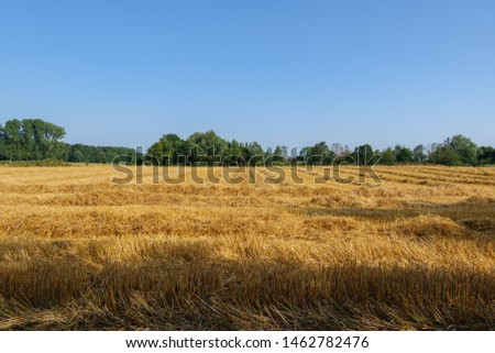 Outdoor view of cut grain harvested wheat field after harvest in summer season against blue cloudy in Meerbusch, countryside of Düsseldorf, Germany.