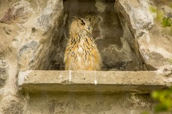 Outdoor view of gorgeous animal, Eurasian eagle owl, Bubo bubo at Condor Park in Otavalo in Ecuador
