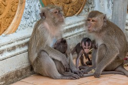 Outdoor view of two female monkeys macaques crab-eaters one mom with his baby breastfeeding. Area of buddhist monastery Tiger Cave Temple