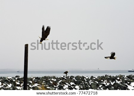 Outdoor Winter Scene with Multiple Bald Eagles
