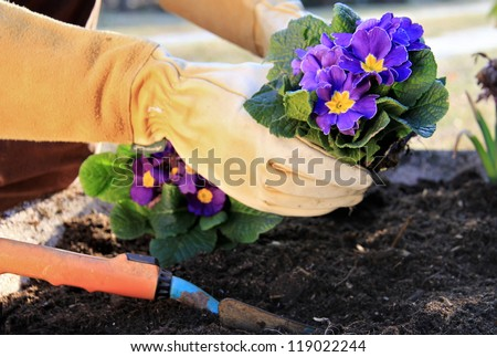 Outdoor work , plant a primrose in a garden pot