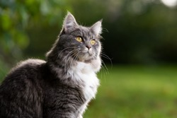 outdoors portrait of a curious beautiful blue tabby white maine coon cat in garden looking to the side