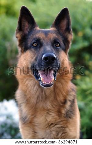 Outdoors portrait of an Alsatian dog