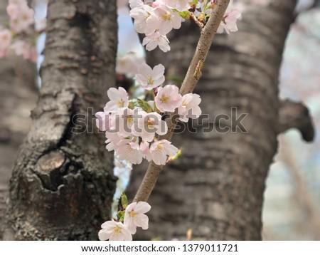 Outfocus Cherry Blossom #1379011721