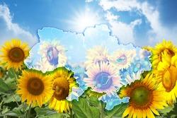 Outline of Ukraine and sunflower field under blue sky on background