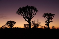 Outlines of Quiver trees during sunset. Silhouettes of beautiful trees with orange background.