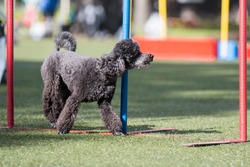 Outside agility shoot of attentive obedient small grey poodle doing dog agility slalom hurdle on sunny summer day. Purebred caniche moyen with show curly hair cut enjoying summer sport activities.