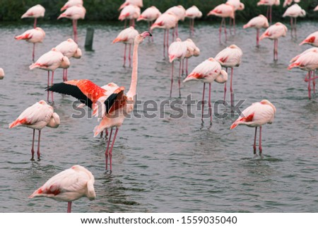 Outsider Pink flamingo on a lake pond with many flamingos in La Camargue wetlands