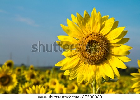Outstanding sunflower over the field