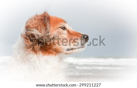 oval vignette composition portrait of red haired fluffy collie type dog with ears blowing in sea breeze at a beach in Gisborne, East Coast, North Island, New Zealand