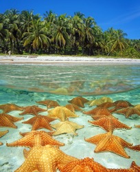 Over and under sea surface near the shore of a tropical beach with coconut trees and many starfishes underwater on a sandy seafloor, Caribbean