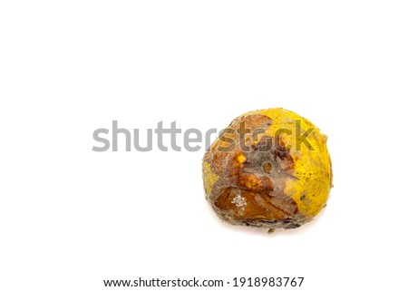 Over-ripe, spoiled quince fruit. Side rot, mold, and fungus. The process of spoilage, rotting of the fruit. White background. Photo stock ©
