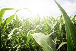 overgrown corn field on a sunny day