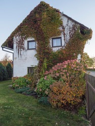 Overgrown front facede of white country house and garden with beautiful various Hydrangea flowers and climbing ivy, creeping wine and bush of hortensia in bloom. Autumn, golden hour light