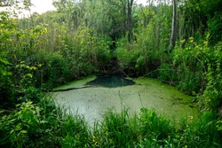 Overgrown water in the swamp. Swamp in the forest. Green forest lake overgrown with duckweed. Beautiful summer landscape of swamp.