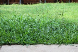Overgrown weeds in the backyard, Crab Grass Weed in the Lawn