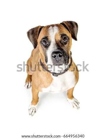 Overhead photo of Boxer mixed breed dog looking up #664956340