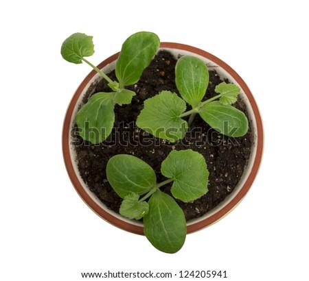 Overhead Shot Of Baby Plants In Pot XXXL