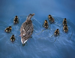 overhead shot with focus on the back of a mother duck and her baby ducklings swimming away under a bridge in a local park pond