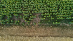 overhead view of a sunflower and wheat plantation. drone shoot