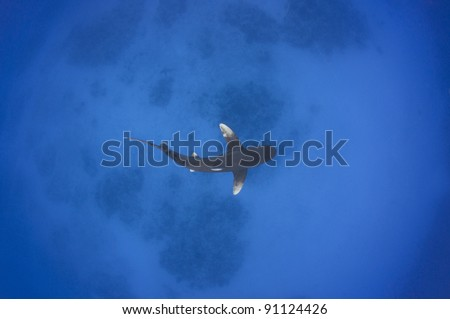 overhead view of an Oceanic White tip shark swimming in shallow water