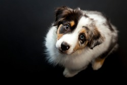 Overhead view of Australian Shepherd puppy during a low-key studio photo shoot with black background.