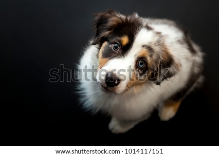 Overhead view of Australian Shepherd puppy during a low-key studio photo shoot with black background. Photo stock ©