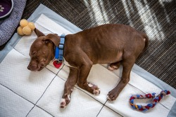 Overhead view of brown and white puppy sleeping with pee-pad underneath, toys and bed in pictures