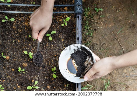 Overhead view of coffee grounds being added to baby vegetables plant as natural organic fertilizer rich in nitrogen for growth Photo stock ©