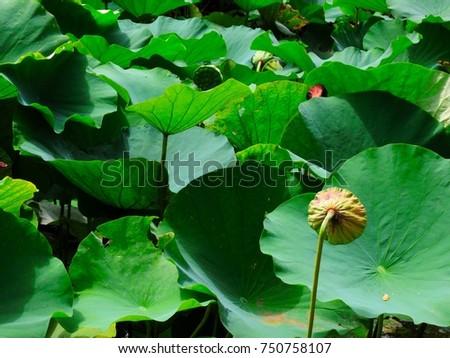 overlap lotus leaves #750758107