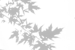 Overlay effect for photo. Gray shadow of the maple tree leaves on a white wall. Abstract neutral nature concept blurred background. Space for text.