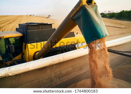 Overloading grain from the combine harvesters into a grain truck in the field. Harvester unloder pouring just harvested wheat into grain box body. Farmers at work. Agriculture harvesting season theme.