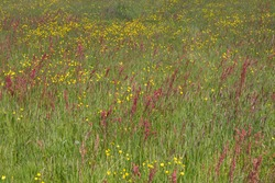 Overview of flowers in colourful meadow with rumex and ranunculus in green grassland that is almost ready for harvesting hay for winter feeding of livestock in atlantic Europe