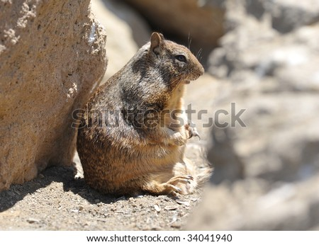 Male Squirrels http://www.shutterstock.com/pic-34041940/stock-photo-overweight-male-adult-californian-ground-squirrel.html