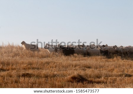 Ovine livestock is one of the livelihoods of Ankara and its surroundings. Goats graze on meadow at the photo.