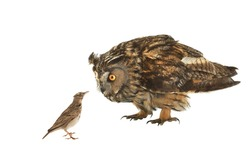 Owl and lark isolated on white background.