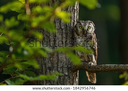 Owl at sunrise. Boreal owl, Aegolius funereus, perched on branch. Typical small owl with big yellow eyes in first morning sun rays. Known as Tengmalm's owl. Habitat Europe, Asia, N. America. Foto stock ©