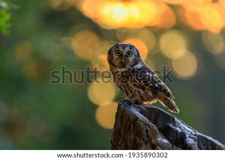 Owl at sunrise. Boreal owl, Aegolius funereus, perched on decayed trunk. Typical small owl with big yellow eyes in first morning sun rays. Known as Tengmalm's owl. Habitat Europe, Asia, N. America. Foto stock ©