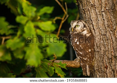 Owl at sunrise. Boreal owl, Aegolius funereus, perched on oak branch. Typical small owl with big yellow eyes in first morning sun rays. Known as Tengmalm's owl. Habitat Europe, Asia, N. America. Foto stock ©