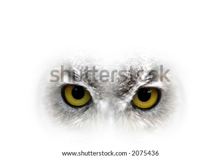 Owl big yellow eyes - closeup
