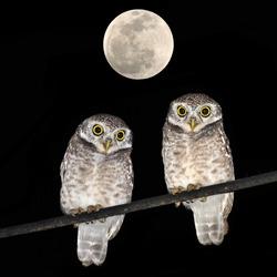 Owl bird sitting on branch at night